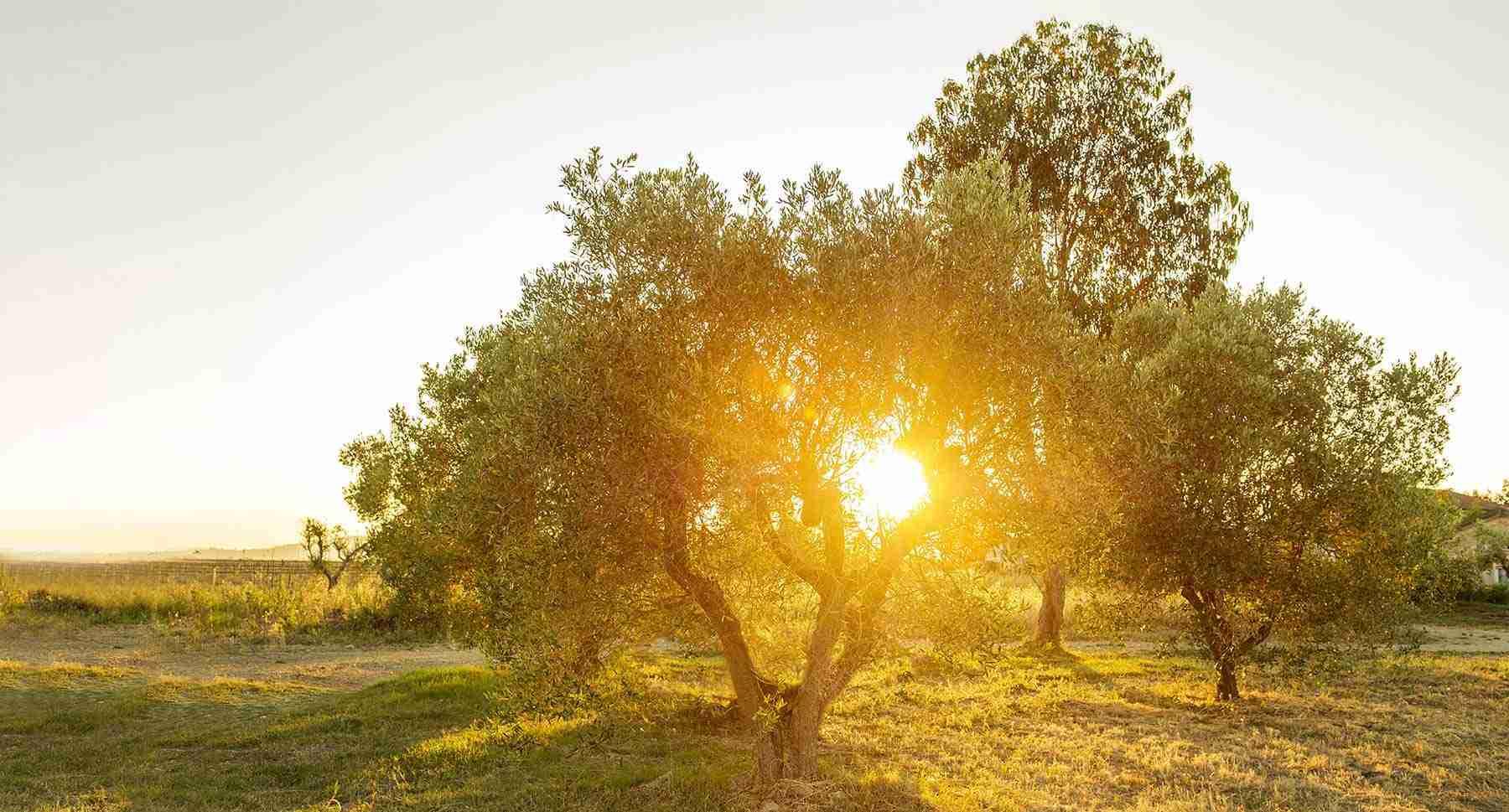 Olea Prilis extra virgin olive oil is good for our health and the planet.Olea Prilis
