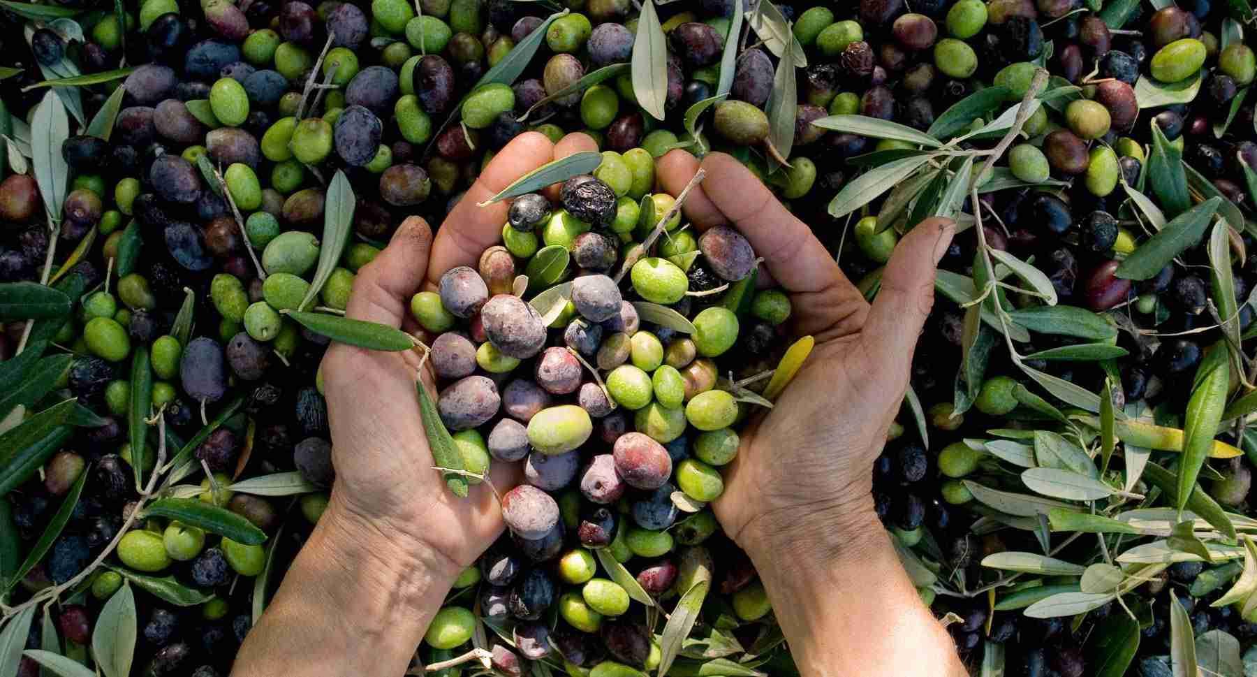 Pourquoi choisir une huile d'olive extra vierge biologique ?Olea Prilis